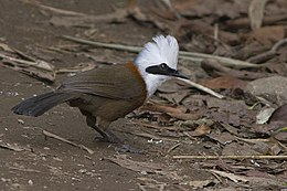 White-crested Laughingthrush Rongli East Sikkim India 10.04.2016.jpg