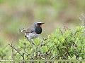 White-tailed Rubythroat (Luscinia pectoralis) (50081372617).jpg