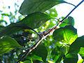 White-throated Gerygone Nesting 3.jpg