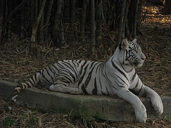 White Tiger Cooling Off in a Summer Evening. 02.jpg