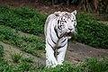 White Tiger image 4301 (4176602597).jpg
