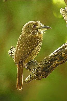 White whiskered puffbird.jpg