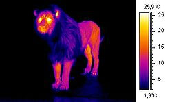 Thermographic image of a lion, showing the insulating mane