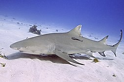 requiem shark wikipedia