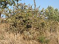 Wild pear in Skoutari (Σκουτάρι) - panoramio.jpg