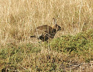 Vermin - A wild rabbit – considered a pest by many farmers, due to their eating of farmer crops