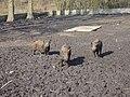 Wildschweine - panoramio (1).jpg