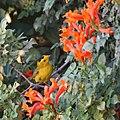 Wilson's warbler (15441578012).jpg