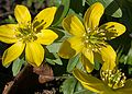 Winter Aconite Flower 5135.jpg