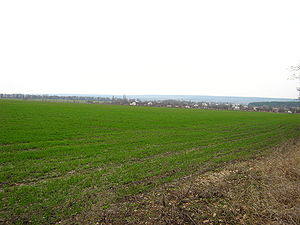 Winter wheat in early spring. The end of march.