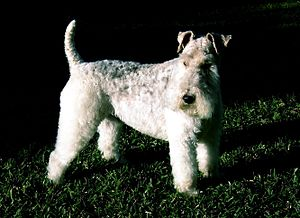 Wire Fox Terrier - Clipped four-year-old male wire fox terrier