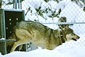 Wolves at Yellowstone National Park (4388b6de-ceea-4b00-93a7-180c14dcc9c2).jpg