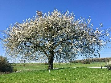 Wunderschöner Birnbaum in voller Blüte.jpg