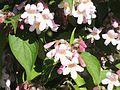 Wzwz tree 14g Kolkwitzia amabilis.jpg