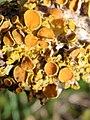 Xanthoria parietina 105881449.jpg