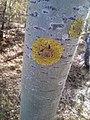 Xanthoria parietina 98715830.jpg