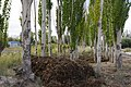 Xinjiang poplar forest landscape IGP4159.jpg