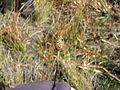 Xyris fimbriata fruit.jpg