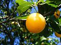 Yellow-Plums 13524-300x225 (4792554514).jpg