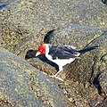 Yellow-bills Cardinal (38046209486).jpg