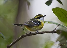 Yellow-breasted Boatbill.jpg