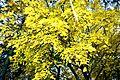 Yellow Fall Leaves (15549911288).jpg