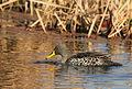 Yellowbilled duck (9703352630).jpg