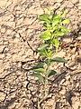 Young kinnow plant - panoramio.jpg