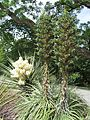 Yucca schottii & Puya alpestris (6706386109).jpg