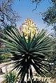 Yucca treculiana in Blüte in cultur in TX B.Crabb B.jpg