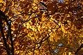Yulan Magnolia Magnolia denudata Fall Leaves 3008px.jpg