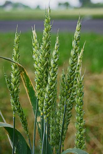 Poales - Common wheat (Triticum aestivum)