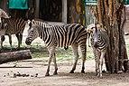 Zebra (Equus quagga burchellii), Zoo de Ciudad Ho Chi Minh, Vietnam, 2013-08-14, DD 01.JPG