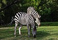 Zebra at Woodland Park Zoo.jpg