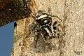 Zebra spider (BG) (17279034735).jpg