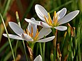 Zephyranthes candida in Hyderabad W IMG 8851.jpg