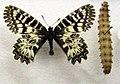 Zerynthia-polyxena.jpg