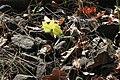 Zitronenfalter Gonepteryx rhamni Paarung 8861.jpg