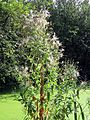 'Epilobium hirsutum' Great Hairy Willowherb in Hatfield Broad Oak Essex England 2.jpg