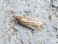 (1336) Eudonia pallida - Flickr - Bennyboymothman (2).jpg