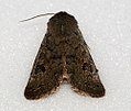 (2185) Lead-coloured Drab (Orthosia populeti) (5549621338).jpg