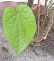 (piper betle) Betel leaf at Bandlaguda 03.JPG