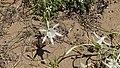 Βλάστηση στις αμμοθίνες Pancratium maritimum.jpg