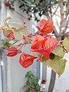 Μπουκαμβίλια κόκκινη - Red bougainvillea.jpg