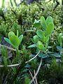 Брусниця на моховій дернині.jpg