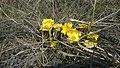Весна пришла. Адонис (Горицвет) весенний. Чистопольский р-н. РТ. Апрель 2014 - panoramio.jpg