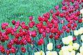 Виставка тюльпанів 14.JPG