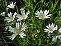 Зірочник (Stellaria) у заказнику Михайловичі.jpg