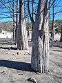 Кипарис болотный. Весна. Анапский район.jpg