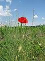 Красный мак на фоне голубого неба - panoramio.jpg